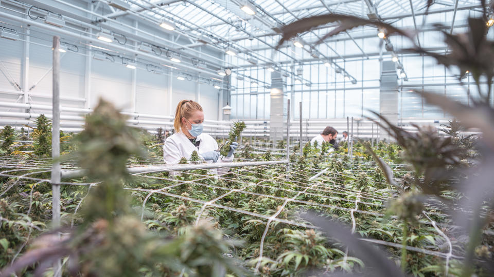 Aurora screens thousands of pot strains per year for use in its future products at its Aurora Coast facility in Comox, B.C. (PROVIDED)