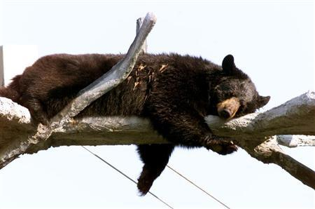 FLORIDA BLACK BEAR RELAXES IN TREE PERCH AT THEME PARK.
