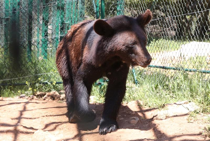 One of four bears living in Jordan's Al Ma'wa For Nature and Wildlife sanctuary which cares for animals rescued from war zones (AFP Photo/Khalil MAZRAAWI)
