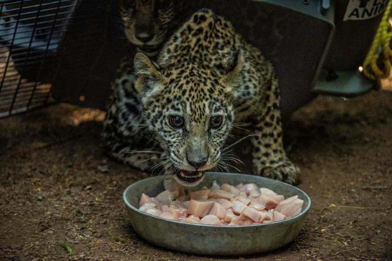 One of the jaguar cubs eats on January 27, 2021 at the Nicaragua National Zoo, which is developing a breeding program for jaguars