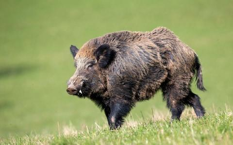 There are now estimated to be two million wild boar in Italy - Credit: Alamy
