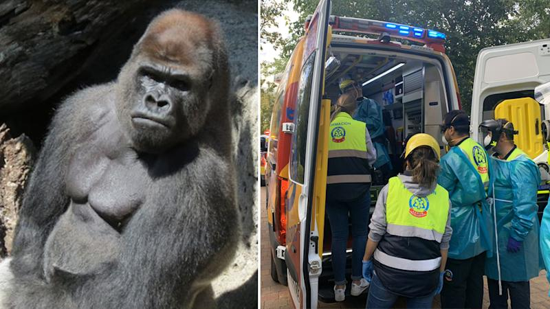 A Gorilla Malabo (left) attacked a zoo keeper at a Spanish zoo. The keeper was taken to hospital (right)