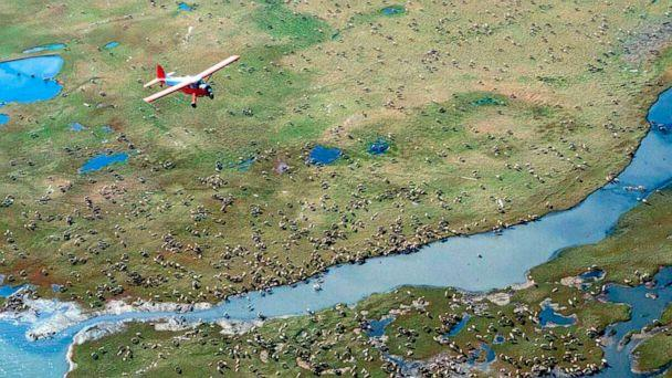 PHOTO: In this undated photo provided by the U.S. Fish and Wildlife Service, an airplane flies over caribou from the Porcupine Caribou Herd on the coastal plain of the Arctic National Wildlife Refuge in northeast Alaska. (AP)
