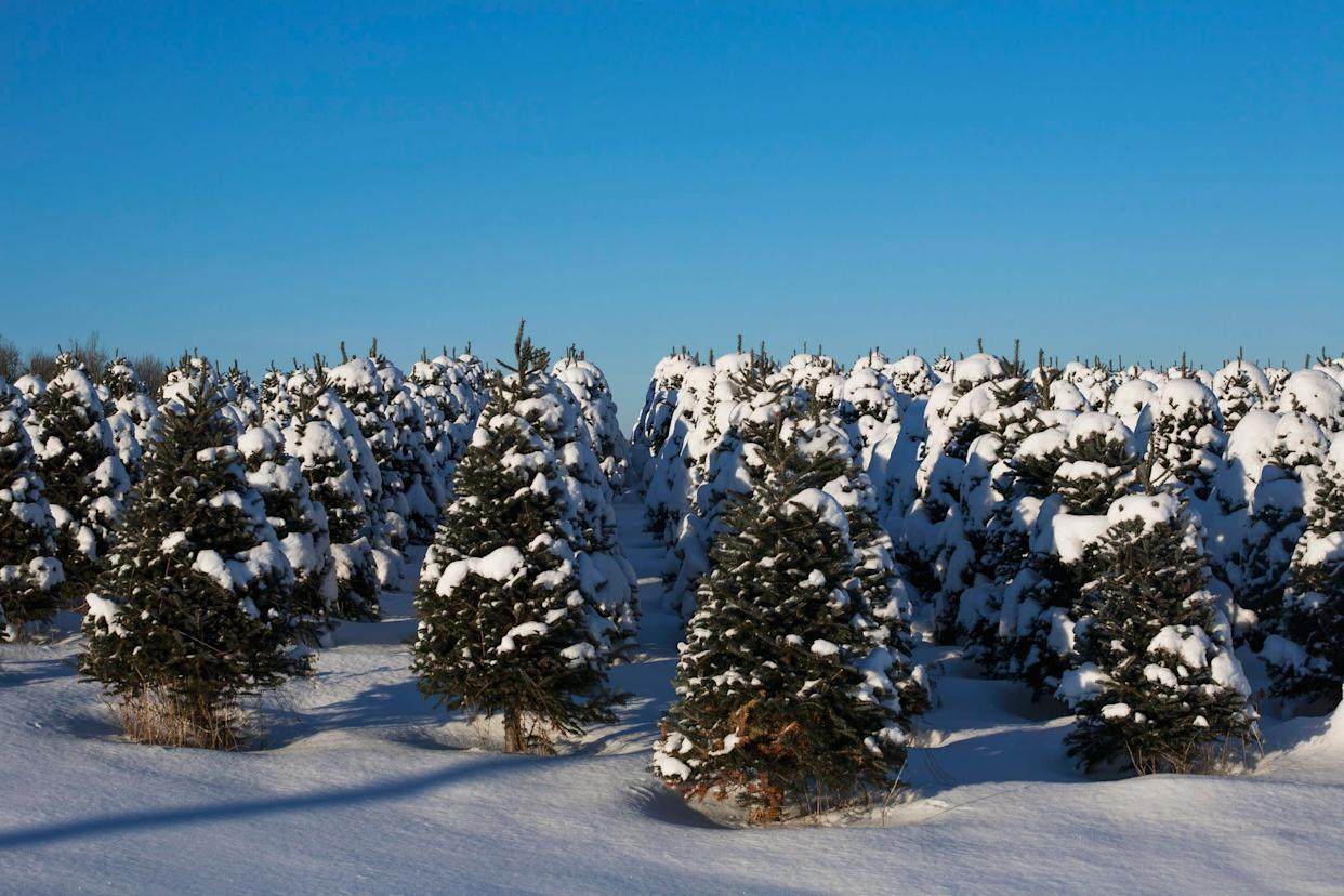 "&ldquo;You&rsquo;re not doing any harm by cutting down a Christmas tree,&rdquo; Clint Springer, a botanist and professor of biology at Philadelphia's Saint Joseph&rsquo;s University, <a href=""http://www.nytimes.com/2010/12/18/business/energy-environment/18tree.html"" rel=""nofollow noopener"" target=""_blank"" data-ylk=""slk:told"" class=""link rapid-noclick-resp"">told</a> The New York Times in an earlier interview. &ldquo;A lot of people think artificial is better because you&rsquo;re preserving the life of a tree. But in this case, you&rsquo;ve got a crop that&rsquo;s being raised for that purpose.&rdquo;"