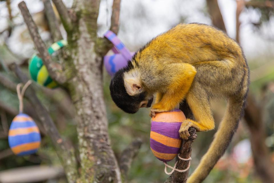 Squirrel monkeys enjoy Easter treats