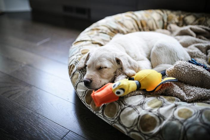 An 8-week-old golden labrador husky mix sleeps on a cushion.