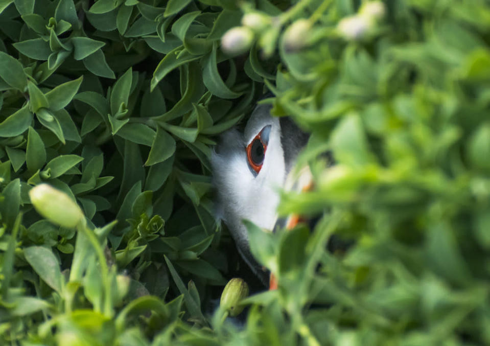 """<p>This image of a Puffin in a Hole on Skokholm Island in Pembrokeshire Wales, was taken by 10-year-old Oliver Teasdale and took the title in the competitions under-12s category. [Picture: Oliver Teasdale/<a href=""""http://www.bwpawards.org"""" rel=""""nofollow noopener"""" target=""""_blank"""" data-ylk=""""slk:www.bwpawards.org"""" class=""""link rapid-noclick-resp"""">www.bwpawards.org</a>] </p>"""