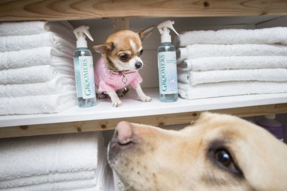 Ruby the Chihuahua and Lily the Labrador in the luxury spa at the Bellslea Hills Pet Hotel and Spa. PRESS ASSOCIATION Photo. Picture date: Wednesday March 11, 2015. A new hotel with private suites, temperature-controlled flooring and a state-of-the-art spa has opened - catering only for dogs. Bellslea Hills Pet Hotel and Spa opened this week in Ayr and is based on facilities in Beverley Hills and Hollywood, staff said. Photo credit should read: Danny Lawson/PA Wire