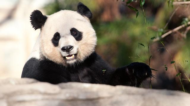 Panda Mei Xiang Gives Birth to Cub
