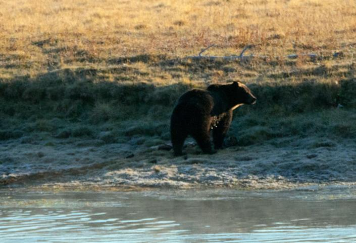 Representational image: A male grizzly bear on the banks of the Yellowstone river (Getty Images/iStockphoto)