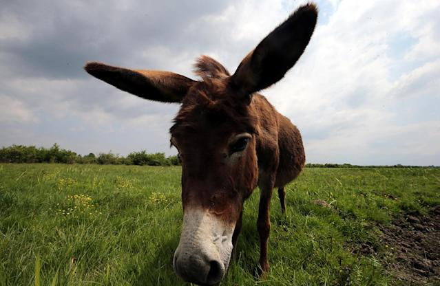 <p>A donkey pastures in the natural environment of the Zasavica Nature Reserve, 90km from Belgrade, Serbia, May 22, 2017. (Photo: Koca Sulejmanovic/EPA) </p>