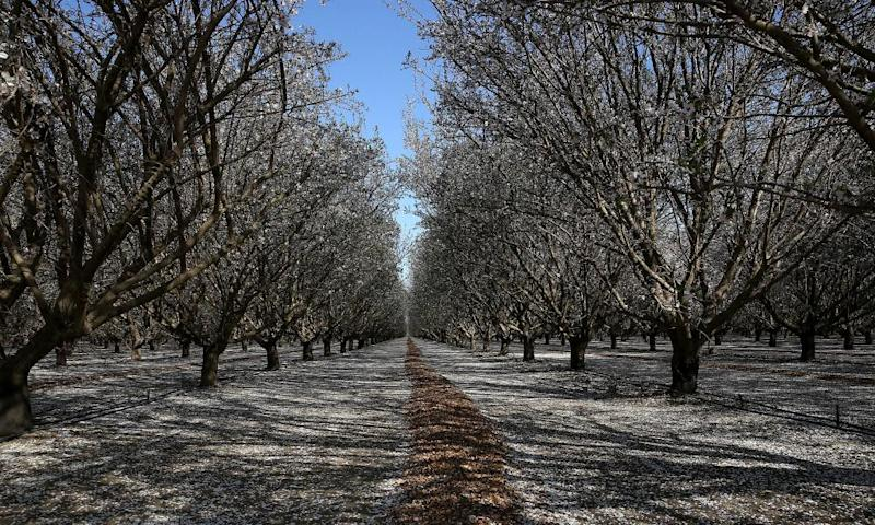 Almond trees in bloom in California's Central Valley
