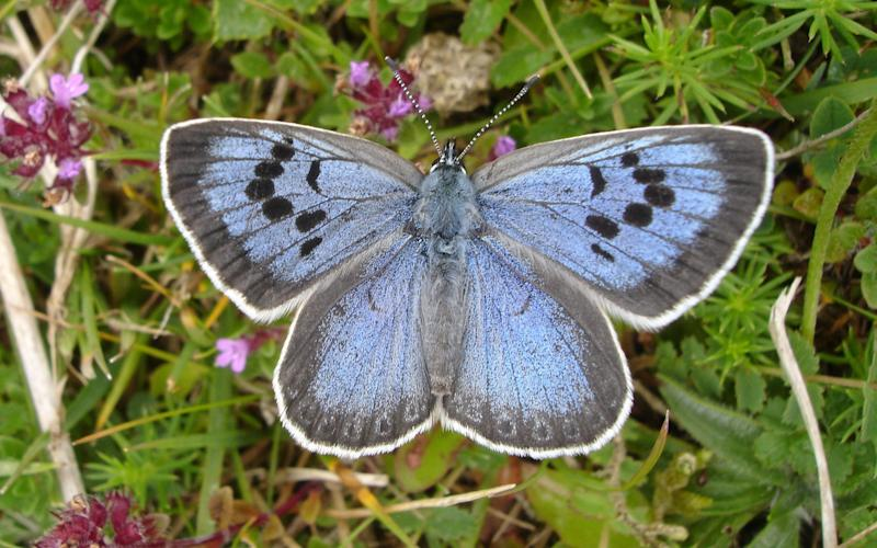 A Large Blue butterfly - Credit: Butterfly Conservation/PA