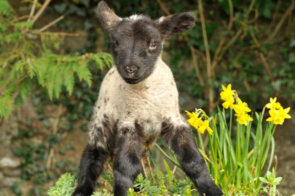 easter 2014: family friendly things to do: see spring lambs