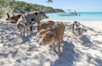 """<p>Yes, <a href=""""https://www.bahamas.com/official-home-swimming-pigs"""" rel=""""nofollow noopener"""" target=""""_blank"""" data-ylk=""""slk:Pig Beach"""" class=""""link rapid-noclick-resp"""">Pig Beach</a> is home to surf-loving hogs, but it also has white sand, crystal-clear water, and—okay, yeah, the swimming pigs really are the stars of the show. The pigs aren't <a href=""""https://www.travelandleisure.com/trip-ideas/bahamas-swimming-pigs-big-major-cay"""" rel=""""nofollow noopener"""" target=""""_blank"""" data-ylk=""""slk:native"""" class=""""link rapid-noclick-resp"""">native</a> to the island, but this has been their home for a while, so they definitely know their way around this heavenly habitat.</p>"""