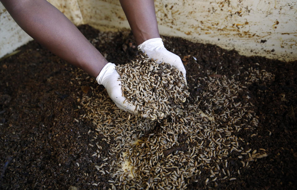 A worker holds up fly larvae waiting to be harvested at the AgriProtein project farm near Cape Town, July 10, 2014. Work on the world's largest fly farm has begun in South Africa after the European firm behind the project won much-needed funding from investors, propelling the use of insects as livestock feed beyond academic theory to a commercial venture. The farm will house 8.5 billion of flies that will produce tons of protein-rich larvae as they feed on organic waste. Picture taken July 10.  REUTERS/Mike Hutchings (SOUTH AFRICA - Tags: ANIMALS BUSINESS)