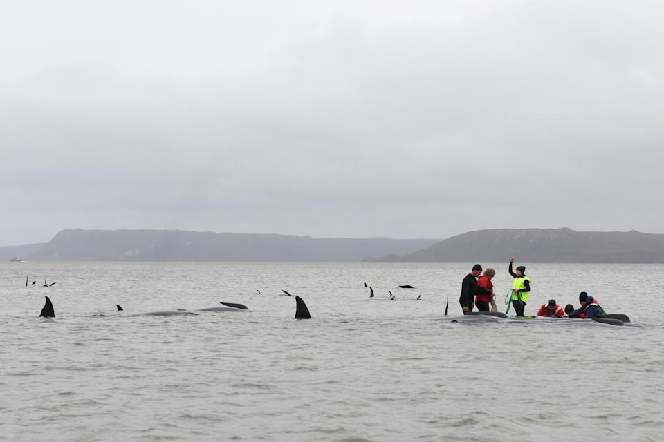 Marine rescue teams attempt to help save hundreds of pilot whales stranded on a sand bar on September 22, 2020 in Strahan, Australia. (Photo by Brodie Weeding/The Advocate - Pool/Getty Images)
