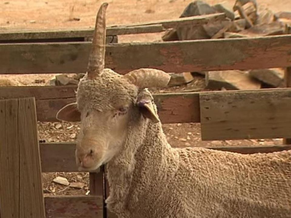 Joey, a sheep with one horn, has been likened to a unicorn. He's living on a property in Burra, South Australia. Source: 7 News