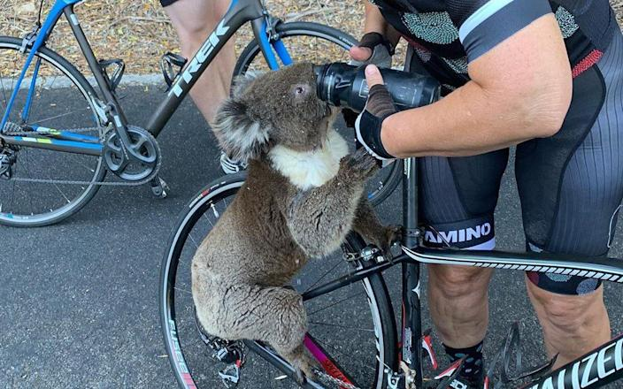 A thirsty Koala Bear approached a cyclist in Adelaide, desperate for water - bikebug2019/Instagram