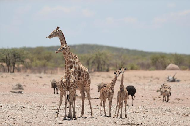 <p>A family of giraffes inspects the area before moving in towards the Renostervlei watering hole in Etosha National Park. (Photo: Gordon Donovan/Yahoo News) </p>