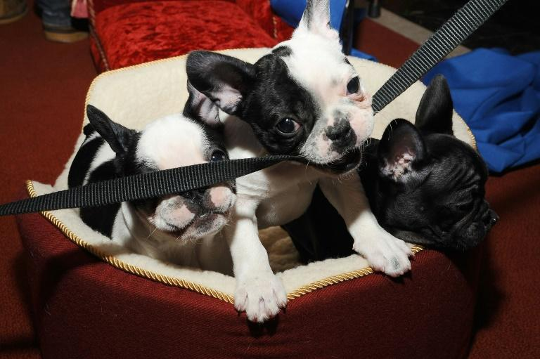 French bulldogs, like those pictured here, are a popular breed in Canada