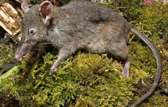 The rat lives in the Philippines and is the only known rodent species without molars.