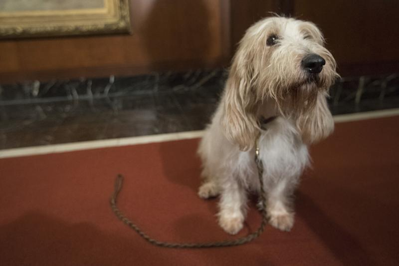 Juno, a grand basset griffon Vendeen, is shown during a news conference at the American Kennel Club headquarters, New York, USA - 10 Jan 2018