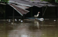 A bird stands under the roof of a flooded home after the passing of Iota in La Lima, Honduras, Wednesday, Nov. 18, 2020. Iota flooded stretches of Honduras still underwater from Hurricane Eta, after it hit Nicaragua Monday evening as a Category 4 hurricane and weakened as it moved across Central America, dissipating over El Salvador early Wednesday. (AP Photo/Delmer Martinez)