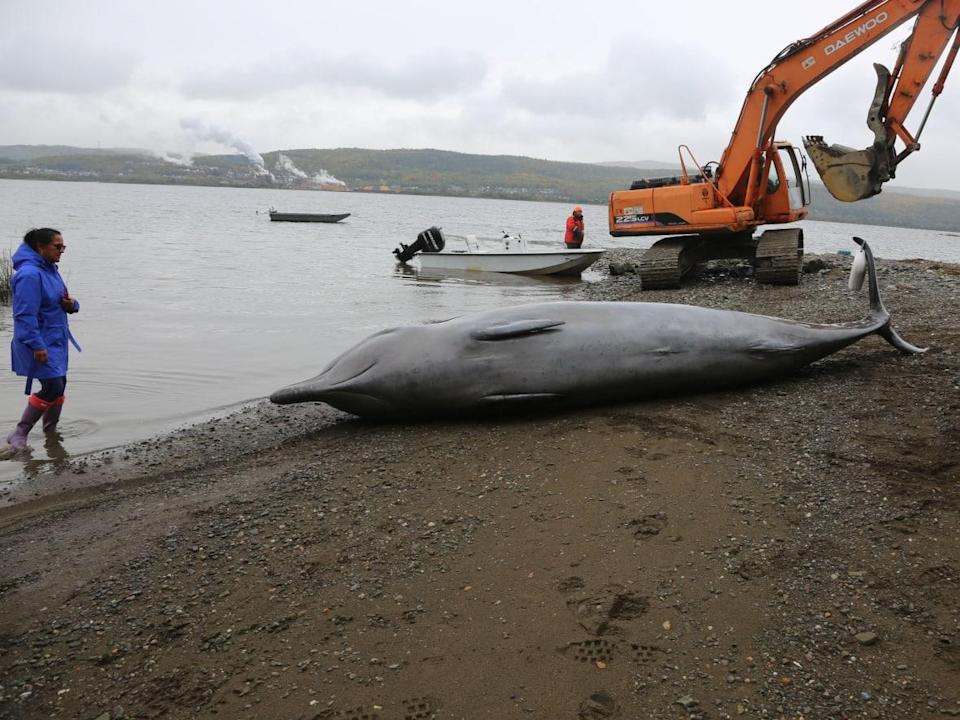 Two northern bottlenose whales were stranded in Chaleur Bay recently, one of which died.  (Marine Animal Response Society - image credit)