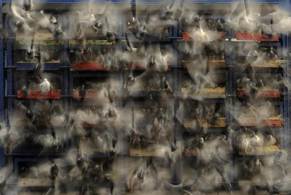 Racing pigeons are released from their racing boxes as they start their flight from Alnwick to their home lofts across Yorkshire and Humberside in northern England April 21, 2012.