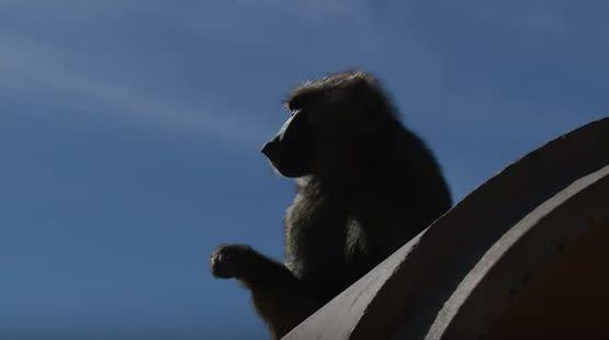 Silhouette of a baboon at theTexas Biomedical Research Institute in San Antonio. (Photo: YouTube/TexasBioMed)