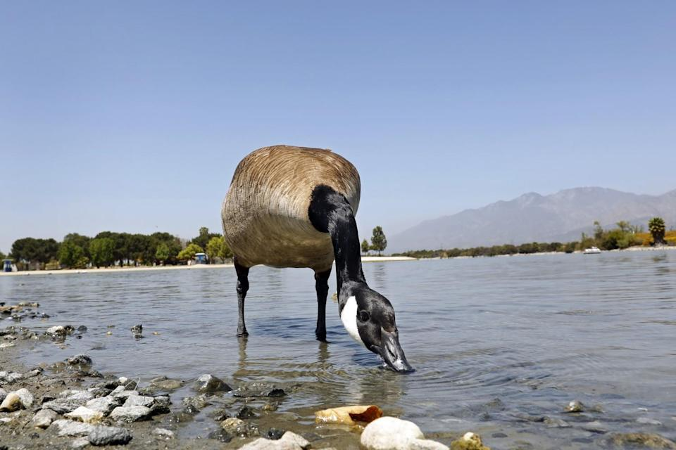 A wild goose takes a drink at the Santa Fe Dam.
