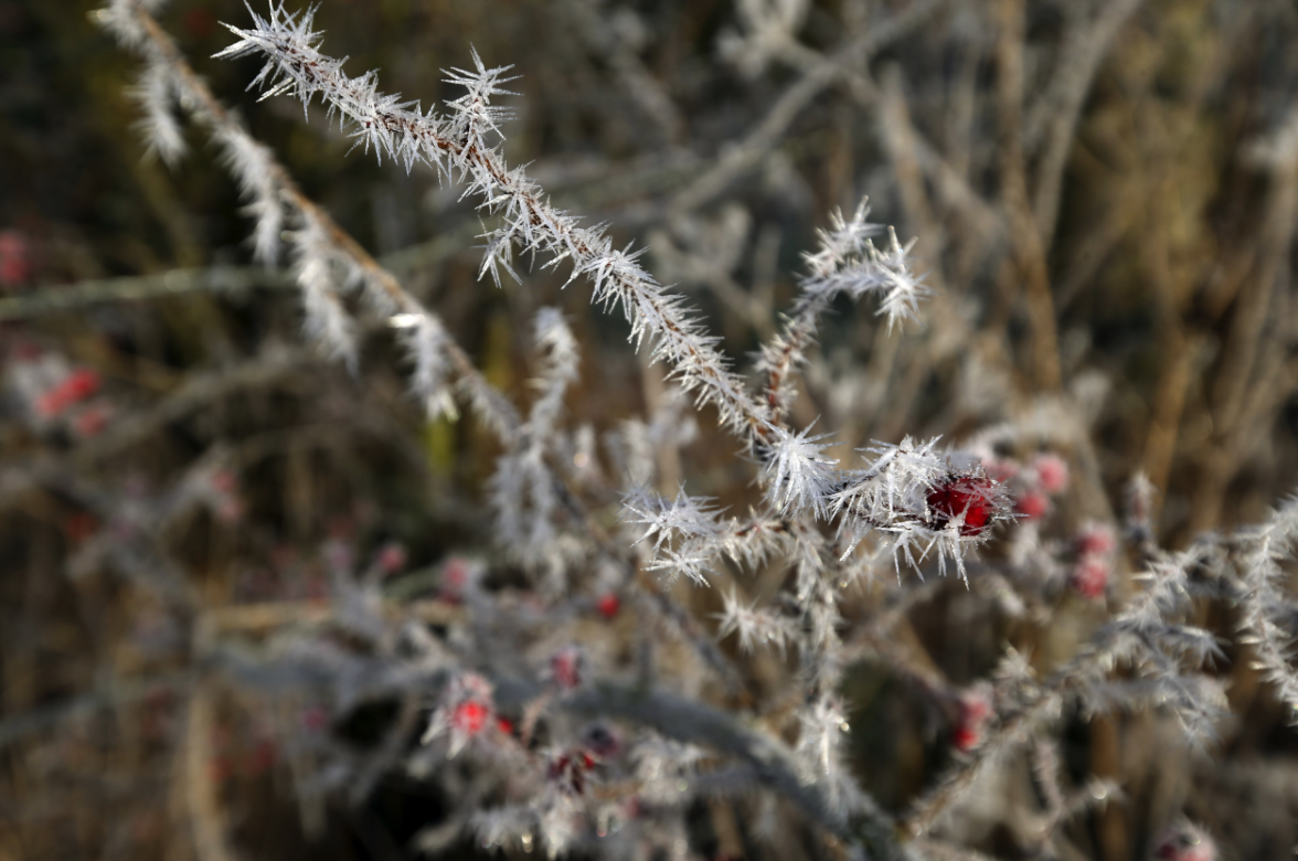 <p>Frost sits on some berries in a meadow near Benson, Oxfordshire (Picture: PA) </p>