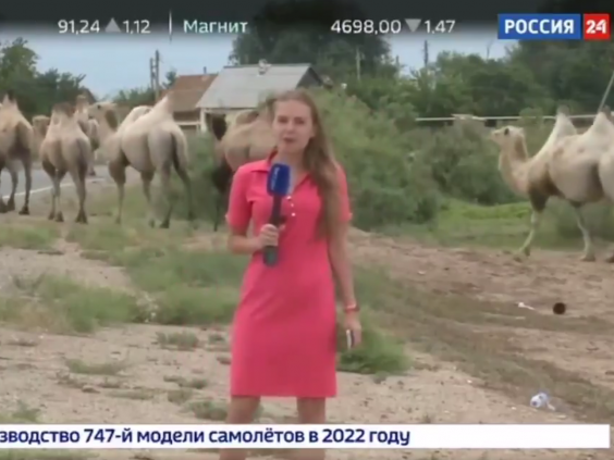 The camel invasion featured on the national news bulletin of state-owned TV. (Rossiya 1)