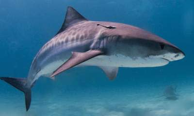 Shark Attack: Fisherman Killed In Jamaica