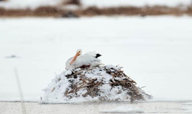 Here the pelican sits atop a muskrat house as it waited out the winter, says Sturk.