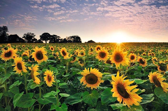 """<p>After decades of inactivity, 2019 saw progress on the Sunflower Conjecture, a question posed in 1960 by Paul Erdős, one of the most famous and colorful characters in the world of math. <a href=""""https://www.popularmechanics.com/science/math/a29579746/sunflower-math-problem/"""" rel=""""nofollow noopener"""" target=""""_blank"""" data-ylk=""""slk:The new information"""" class=""""link rapid-noclick-resp"""">The new information</a> is a big step up from previous knowledge, but still doesn't completely answer Erdős' original question.</p>"""