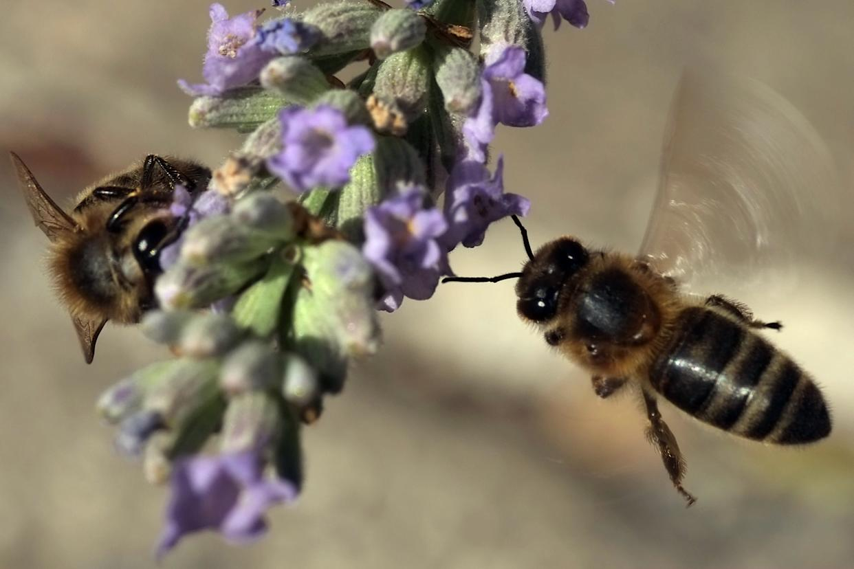 Bees gather nectar from lavender flowers on July 22, 2013 in Marseille, southern France. (BORIS HORVAT/AFP/Getty Images)