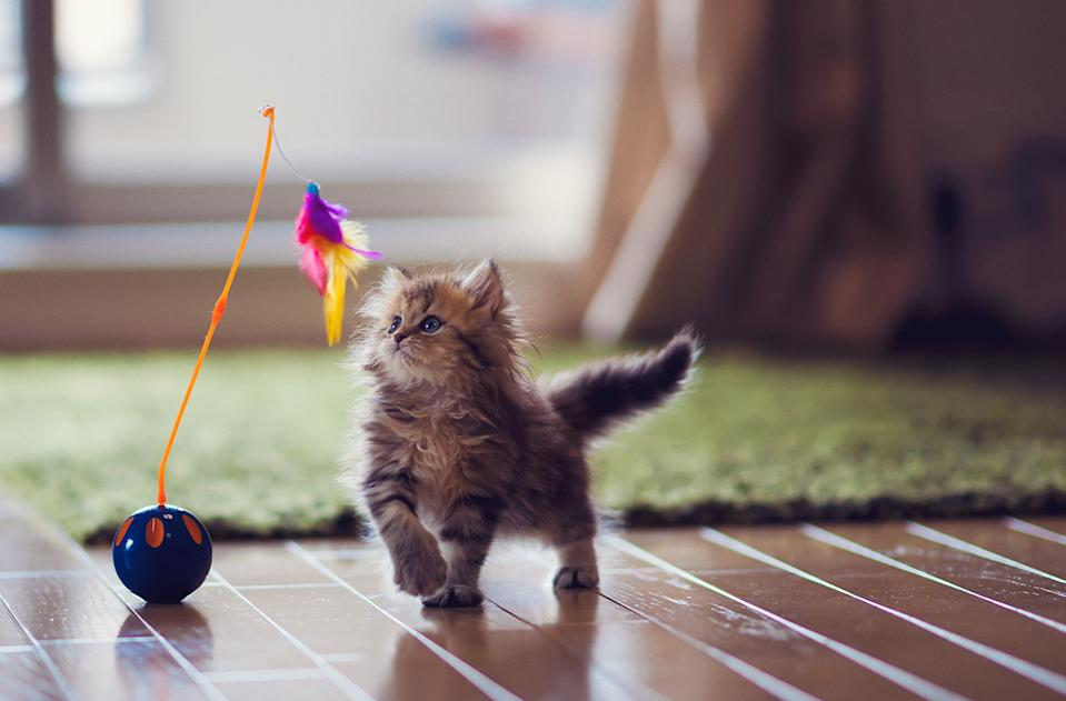 Brown kitten with blue eyes playing with feather toy.