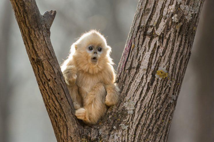"The younger sister of Tao Tao, the golden snub-nosed monkey protagonist of Disneynature's ""Born in China."""