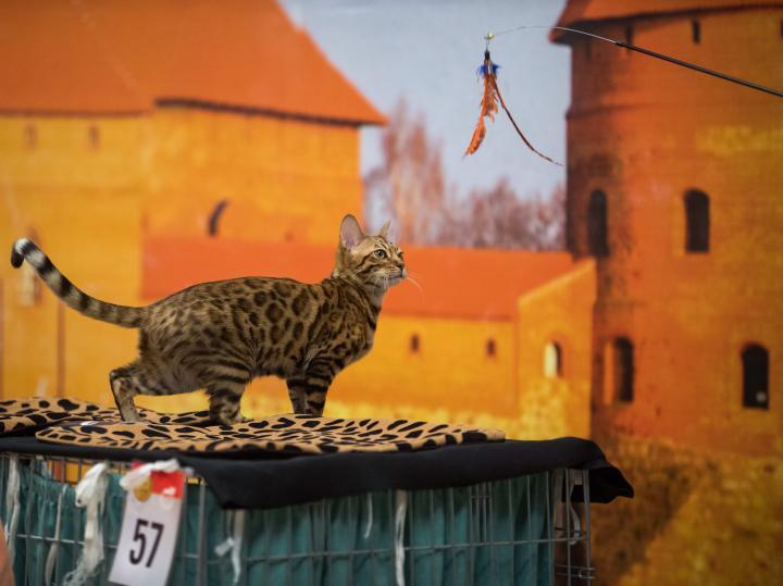 Lituania, International Cat Show a Trakai