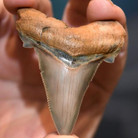Fossil enthusiast Philip Mullaly holds a giant shark tooth - Credit: WILLIAM WEST/AFP