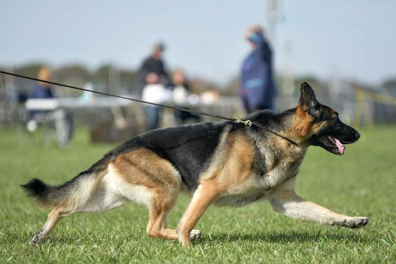 A German shepherd who recovered from a shattered leg to become one of the favorites at the Westminster Kennel Club Dog Show had his comeback cut short on the first day of competition Monday.