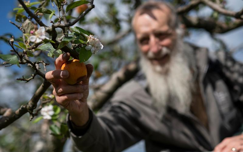 Mcc0096991. RHS gardener Bernard Boardman picks fruit form apple trees which have come into blossom out of season at RHS Wisley in Surrey Friday Sept. 25, 2020. Picture by Christopher Pledger for the Telegraph. - Christopher Pledger/Christopher Pledger