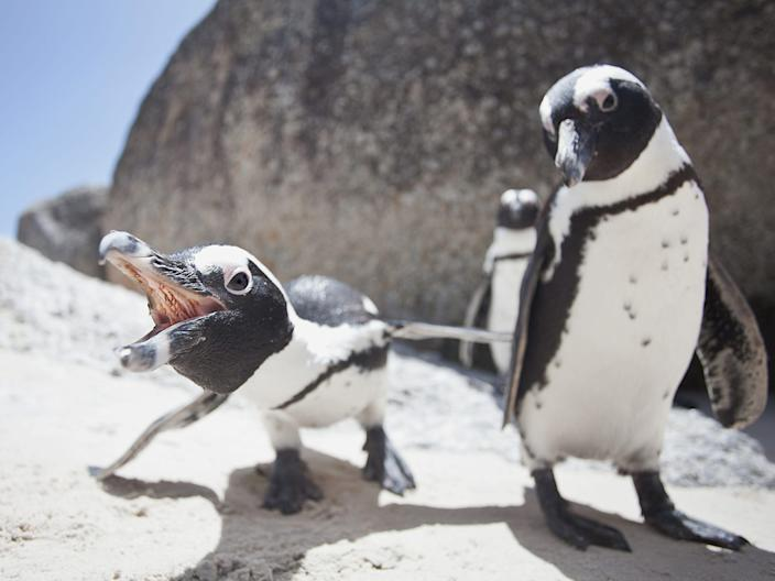 A pair of African penguins.