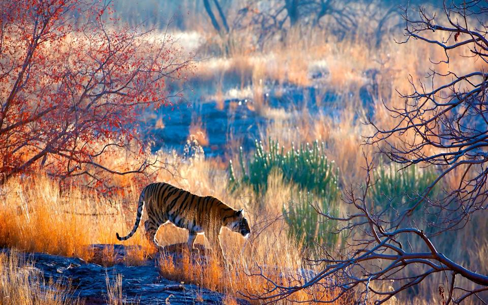 Ranthambore National Park tiger - Getty