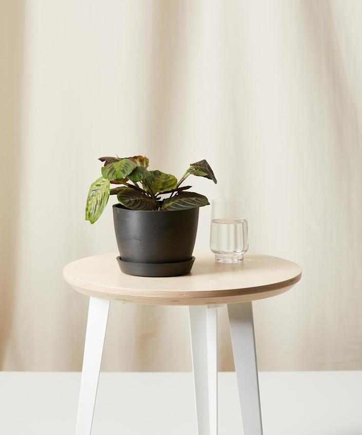 """All year long, plant content was off the charts on Clever. Readers were looking to <a href=""""https://www.architecturaldigest.com/story/how-to-shop-for-a-houseplant?mbid=synd_yahoo_rss"""" rel=""""nofollow noopener"""" target=""""_blank"""" data-ylk=""""slk:order their plants online"""" class=""""link rapid-noclick-resp"""">order their plants online</a>–particularly plants that would <a href=""""https://www.architecturaldigest.com/gallery/best-air-purifying-plants?mbid=synd_yahoo_rss"""" rel=""""nofollow noopener"""" target=""""_blank"""" data-ylk=""""slk:purify air in the home"""" class=""""link rapid-noclick-resp"""">purify air in the home</a> and <a href=""""https://www.architecturaldigest.com/story/pet-friendly-houseplants?mbid=synd_yahoo_rss"""" rel=""""nofollow noopener"""" target=""""_blank"""" data-ylk=""""slk:play well with pets"""" class=""""link rapid-noclick-resp"""">play well with pets</a>–and have them shipped to their doorsteps. One of the most frequently purchased was this potted red prayer plant from direct-to-consumer brand Bloomscape. Great to look at and easy to grow, it's a no-brainer for anyone interested in developing a home nursery. $35, Bloomscape. <a href=""""https://bloomscape.com/product/red-prayer-plant/"""" rel=""""nofollow noopener"""" target=""""_blank"""" data-ylk=""""slk:Get it now!"""" class=""""link rapid-noclick-resp"""">Get it now!</a>"""