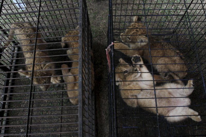 Lion and leopard cubs sit in cages as they are displayed during a police press conference in Kampar, Riau, Indonesia, Sunday, Dec. 15, 2019.  Indonesian police said Sunday that they have arrested two men suspected being part of a ring that poaches and trades in endangered animals and seized from them lion and leopard cubs and dozens of turtle, police said Sunday. (AP Photo/Rifka Majjid)