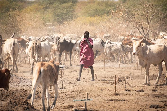 A herder with malnourished cattle - Simon Townsley/The Telegraph