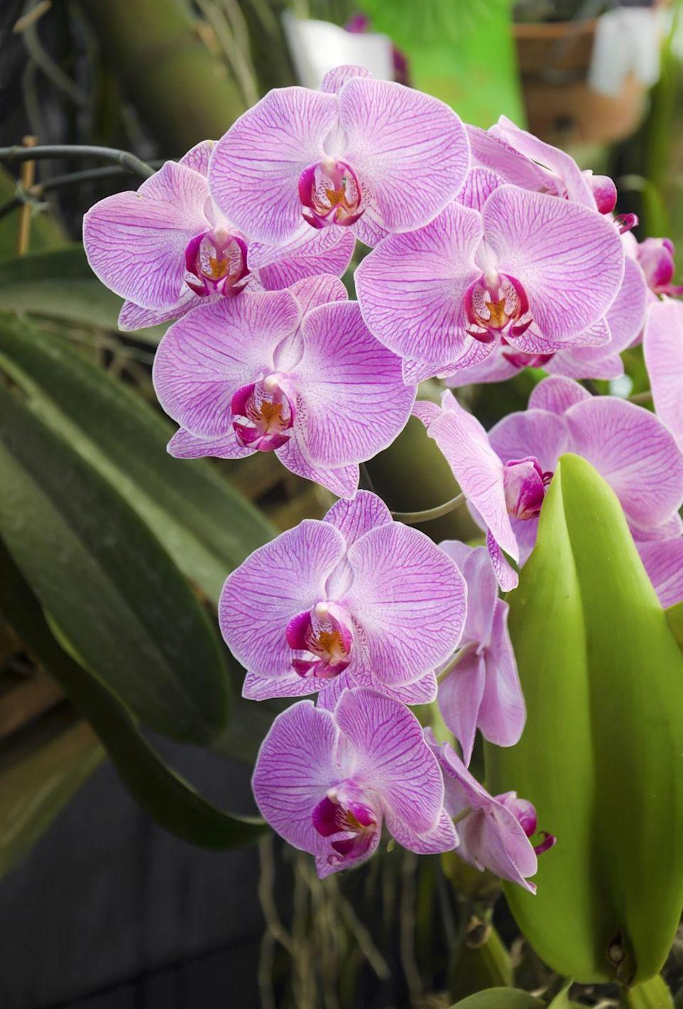 """<p>The final plant to boost your mental health is the classic, much-loved orchid. In addition to improving your mood, orchids can help you to relax and feel less stressed. </p><p><a class=""""link rapid-noclick-resp"""" href=""""https://www.serenataflowers.com/en/uk/plants/next-day-delivery/product/110473"""" rel=""""nofollow noopener"""" target=""""_blank"""" data-ylk=""""slk:BUY NOW VIA SERENATA FLOWERS"""">BUY NOW VIA SERENATA FLOWERS</a> </p><p><strong>Follow House Beautiful on <a href=""""https://www.instagram.com/housebeautifuluk/"""" rel=""""nofollow noopener"""" target=""""_blank"""" data-ylk=""""slk:Instagram"""" class=""""link rapid-noclick-resp"""">Instagram</a>.</strong></p>"""